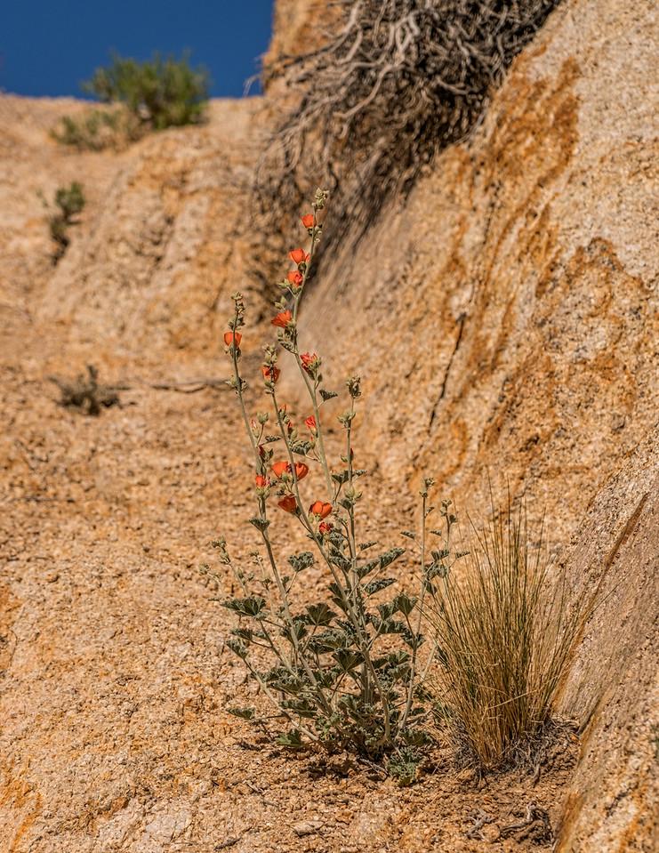 Desert Wild flower california