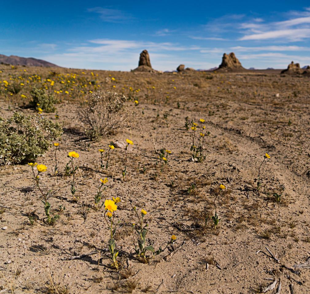 Yellow desert wildflowers